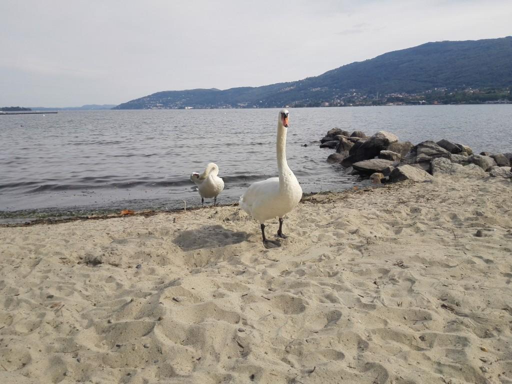 lago-maggiore-cigni-1